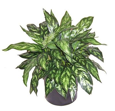 2' Silk Chinese Evergreen, Double